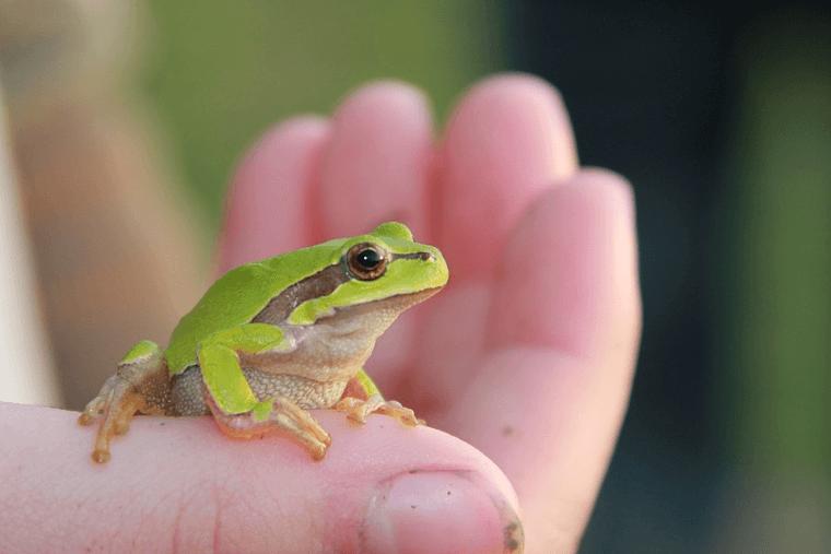 Iss einen Frosch zum Frühstück! - wie du im Leben weiterkommst. Kleiner grüner Frosch, der auf einer Hand sitzt.